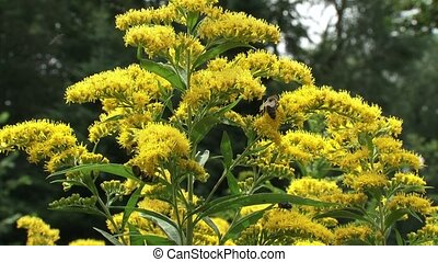 Solidago canadensis, Canada goldenrod with honeybees - close up