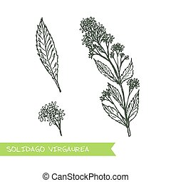 Handdrawn Illustration - Health and Nature Set - Solidago...