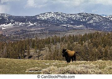 solitário, bisonte, ficar, ligado, cume