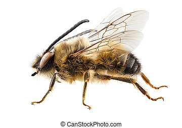 solitário, nome, longicornis, mineiro, abelha, comum, eucera, espécie