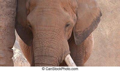 solitaire, éléphant africain