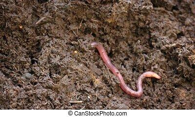 solitaire, creuser, ver terre, composter tas