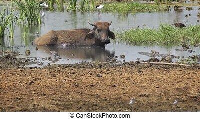 solitaire, eau, vautrer, sri lanka, lac, bufalo