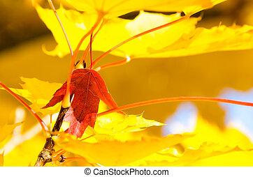 solitaire, feuille, incorporé, doré, feuilles, automne, érable rouge