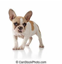 solitaire, fond, chien, regarder, innocent, blanc, chiot
