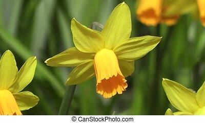 solitaire, jonquille, fleur, vent