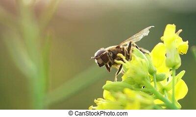 solitaire, métrage, fullhd, flower., hoverfly, perché