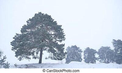 solitaire, nature hiver, arbre, neige, pin, noël, forêt, orage, grandir, paysage