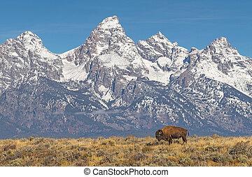 solitaire, pâturage, bison, grand tetons, toile de fond