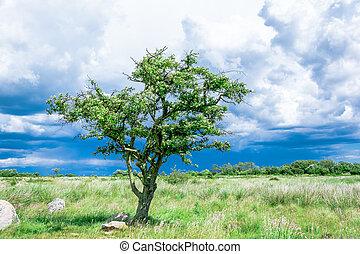 solitaire, pré, arbre, unique, orage, avant