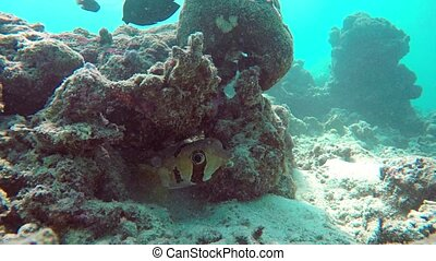 solitaire, récif, puffer, maldives, fish