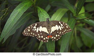 solitaire, vidéo, swallowtail, 4k, chaux, uhd, leaf., papillon