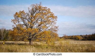 solitaire, vieil arbre, chêne, promenade, automne, fond