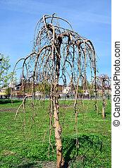 solitario, albero, con, germogli