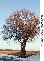 solitario, albero, in, il, tramonto