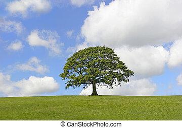 solitario, albero quercia