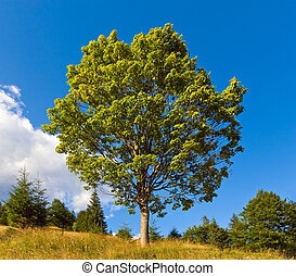 solitario, albero, su, estate, montagna