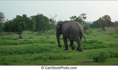 Solitary Asian Elephant in Sri Lankan National Park -...