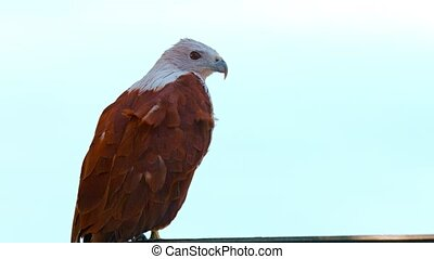 UltraHD video - Solitary Brahminy Kite stands on his perch against a gray sky in the background, as the wind ruffles his feathers.