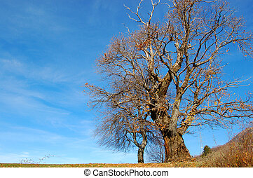 Solitary chestnut without leaves in winter
