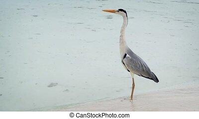 Solitary Grey Heron on Vaadhoo Island, Maldives - Solitary...