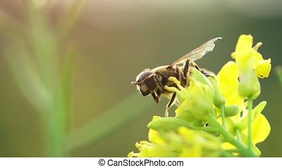 Solitary specimen of hoverfly, perched on a tiny, yellow flower, and appearing to clean itself, in extreme closeup. FullHD 1080p footage