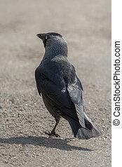 Solitary Jackdaw - Lone Jackdaw (Corvus monedula)