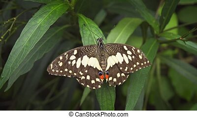 Solitary Lime Swallowtail Butterfly on a Leaf. hidef 1080p...