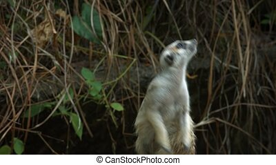 Solitary, mature meerkat stands up and examines his surroundings as a gentle breeze stirs leaves in the background, with sound.
