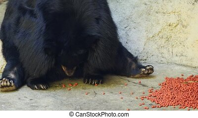 Asian black bear in captivity, sitting in spartan enclosure at a public zoo in Asia, eating kibble for its food. Ultra HD 4k video