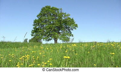 Lonely old maple on green meadow against blue sky background