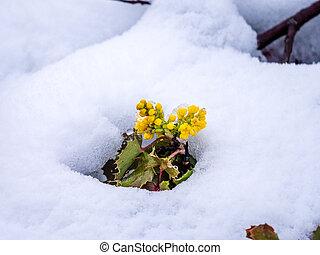 Solitary Oregon-Grape Plant in Snow
