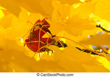 Solitary Red Leaf Embedded Among the Golden Maple Leaves of Autumn