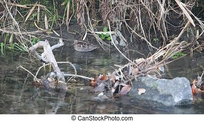 Solitary Snipe (Gallinago solitaria) in Japan