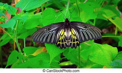 Solitary specimen of the Common Birdwing Butterfly, with its black, white and yellow wings, perched on a green leaf. Video UltraHD
