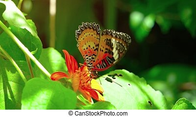 Solitary specimen of Leopard Lacewing butterfly, flapping its bright orange wings while feeding on the nectar of a flower. UHD video