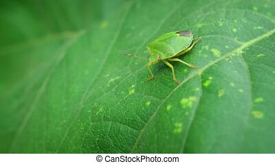 Solitary Stink Bug on a Leaf. 4k Ultra HD video - Closeup of...