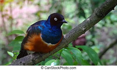 Solitary Superb Starling on a Tree Branch. hidef 1080p video