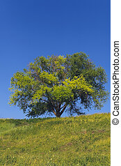 solitary tree on hill