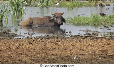 Solitary Water Bufalo, Wallowing in a Lake in Sri Lanka -...