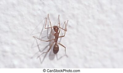 Solitary Weaver Ant on a Wall in Extreme Closeup - Solitary,...