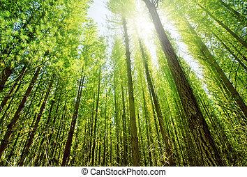 solljus, in, skog