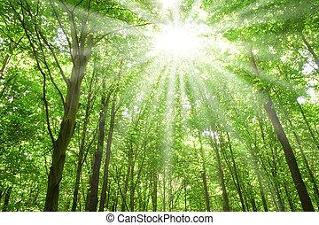 solljus, in, träd, av, skog