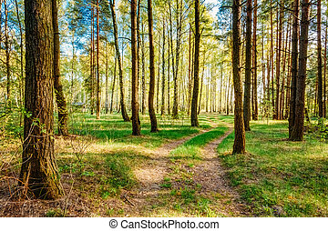 solljus, solnedgång, soluppgång, veder, in, skog