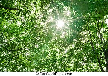 sollys, ind, træer, i, skov