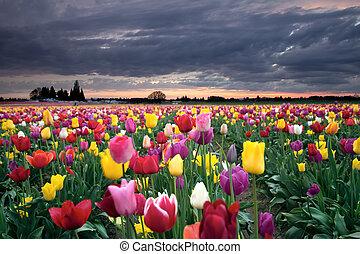 solnedgång, över, färgrik, tulpan, blomningen