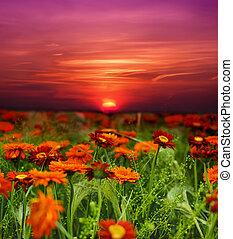 solnedgång, blomma, fält