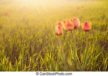 solnedgång, blomningen
