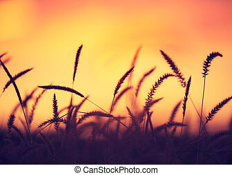 solnedgång gärde, vacker, vibrerande färg