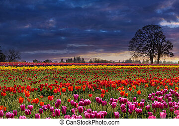 solnedgång, hos, färgrik, tulpan gärde